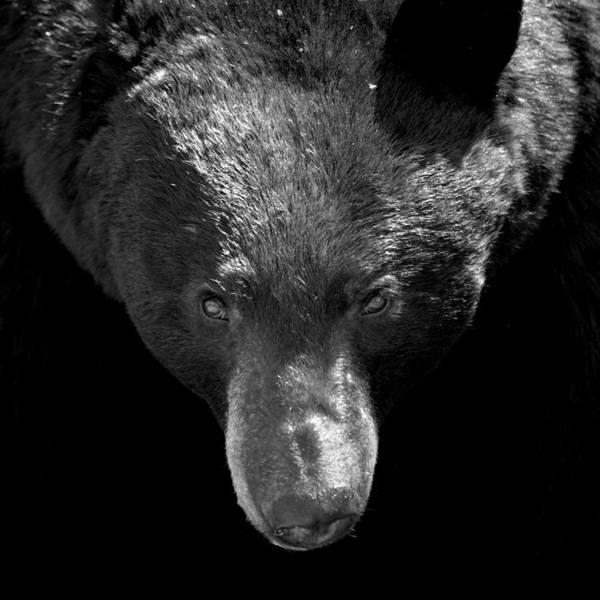 Black Bear Art Print