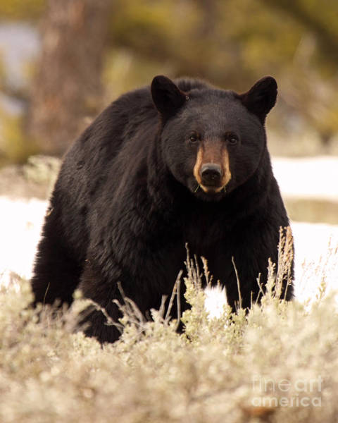 Wall Art - Photograph - Black Bear Looking In by Max Allen