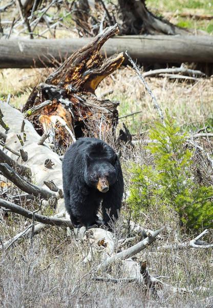 Photograph - Black Bear by Michael Chatt