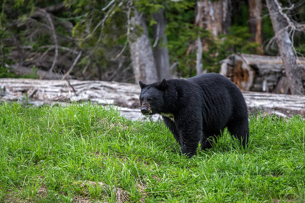 Photograph - Black Bear by Pierre Leclerc Photography