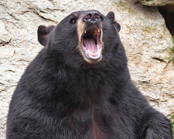 Photograph - Black Bear Roaring by Mary Almond