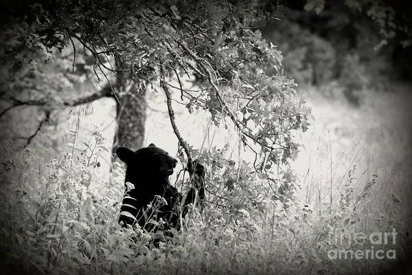 Photograph - Black Bear Grazing Cades Cove by Cynthia Mask