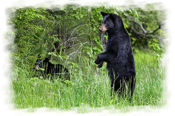 Photograph - Black Bear Standing Upright  by Dan Friend