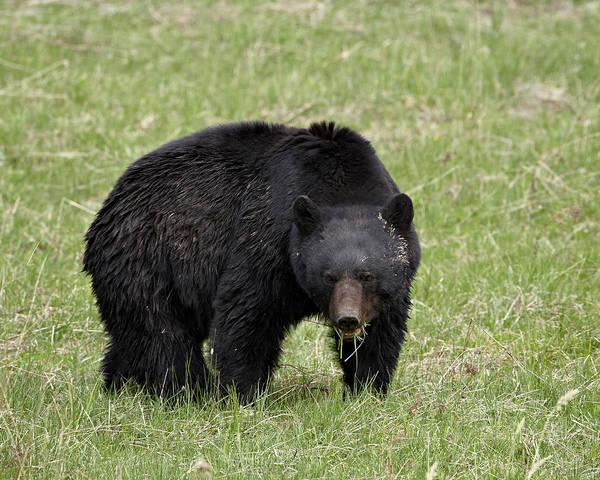 Born In The Usa Photograph - Black Bear Ursus Americanus Eating by James Hager / Robertharding