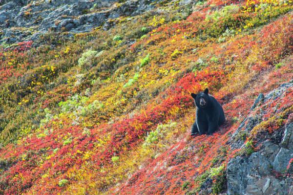 Wall Art - Photograph - Black Bear  Urus Americanus  Sitting by Michael Jones