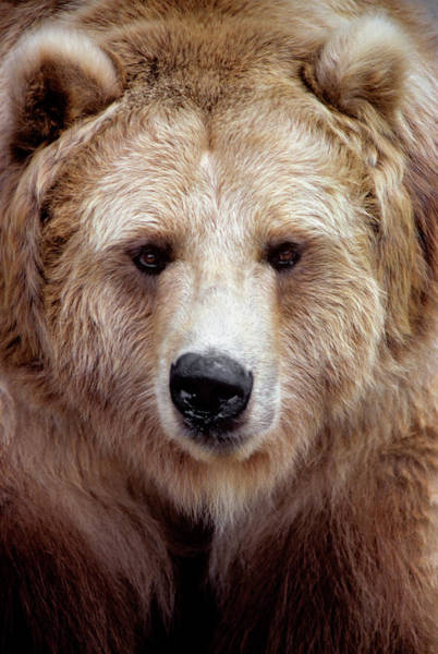 Big Bear Photograph - Black Bear Variation In Brown Color by Animal Images