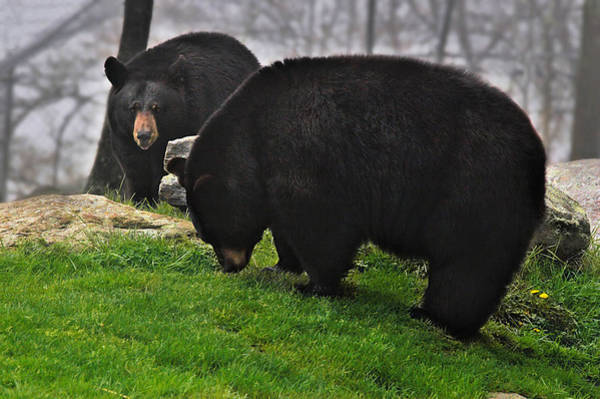Photograph - Black Bears by Mary Almond