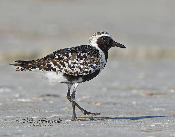 Photograph - Black-bellied Plover by Mike Fitzgerald