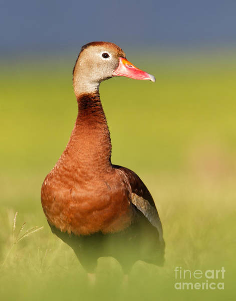 Joshua Clark Photograph - Black-bellied Whistling Duck by Joshua Clark