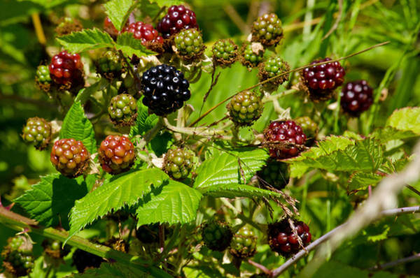 Photograph - Black Berry Patch by Tikvah's Hope