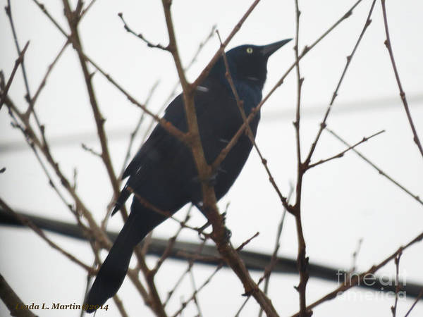 Photograph - Black Bird Anticipation by Linda L Martin