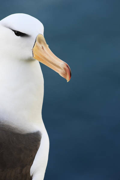 Photograph - Black-browed Albatross Falklands by Heike Odermatt