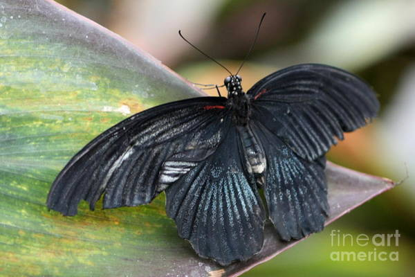 Photograph - Black Butterfly by Jeremy Hayden