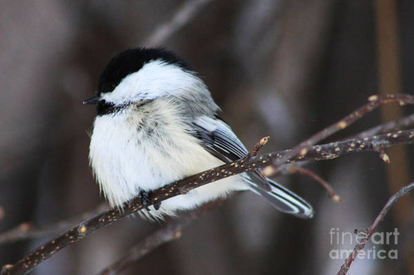 Lethbridge Photograph - Black Capped Chickadee by Alyce Taylor