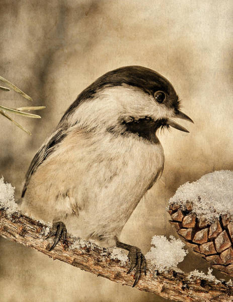 Photograph - Black Capped Chickadee And Snow B by Theo O'Connor