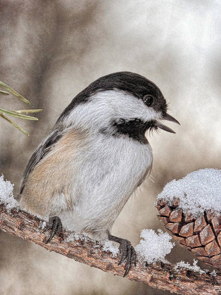 Photograph - Black Capped Chickadee And Snow  by Theo O'Connor