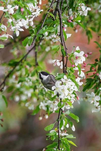 Photograph - Black Capped Chickadee by Bill Wakeley