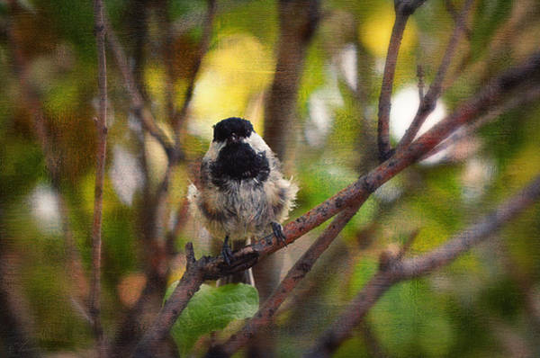 Bird Watching Digital Art - Black Capped Chickadee by Maria Angelica Maira