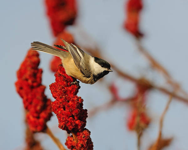 Photograph - Black-capped Chickadee On Sumac by Tony Beck