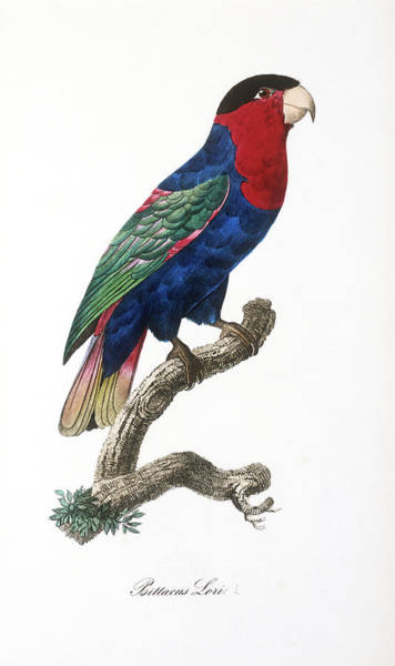 1855 Photograph - Black-capped Lory by Natural History Museum, London/science Photo Library