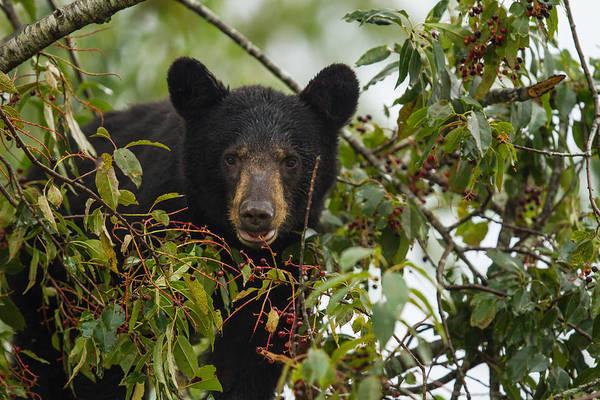 Photograph - Bear In A Cherry Tree by Doug McPherson