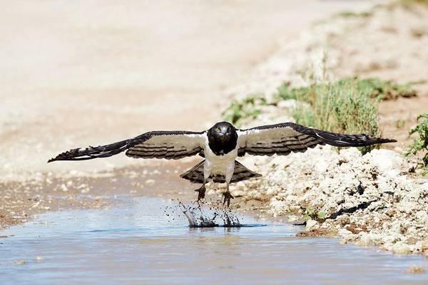 Eagle In Flight Photograph - Black-chested Eagle Taking Flight by Tony Camacho