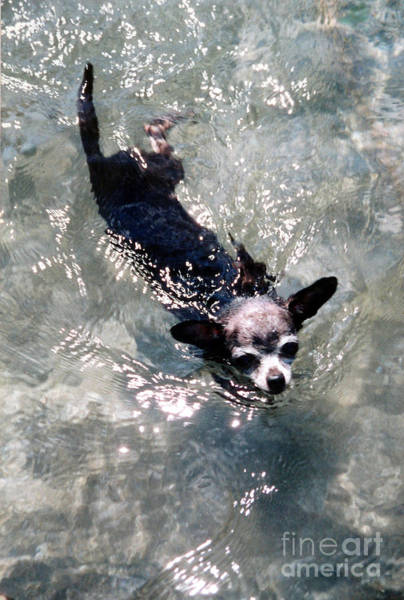 Photograph - Black Chihuahua Dog Swimming by Christopher Shellhammer