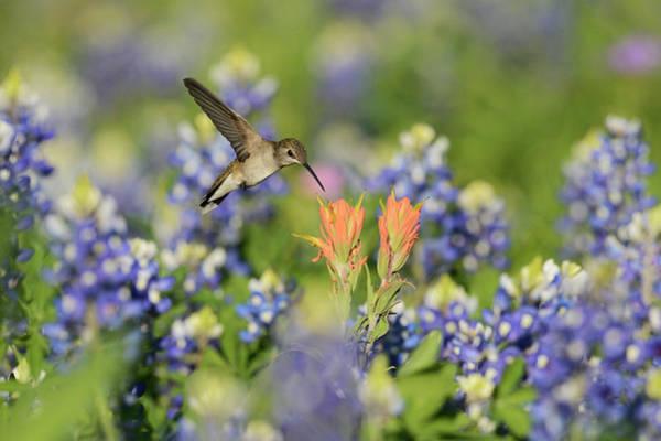 Texas Bluebonnet Photograph - Black-chinned Hummingbird Female by Rolf Nussbaumer