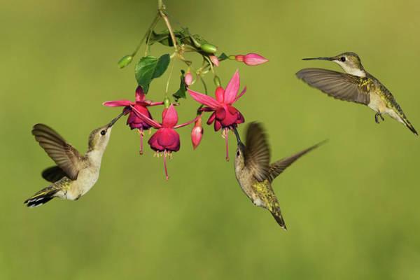 Wall Art - Photograph - Black-chinned Hummingbird Females by Rolf Nussbaumer