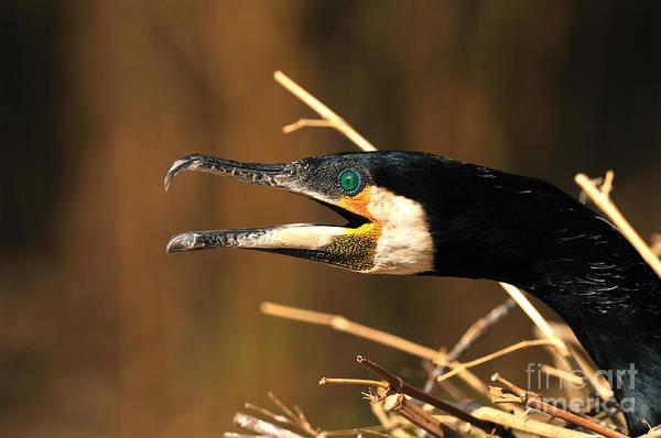 Reiner Photograph - Black Cormorant by Reiner Bernhardt