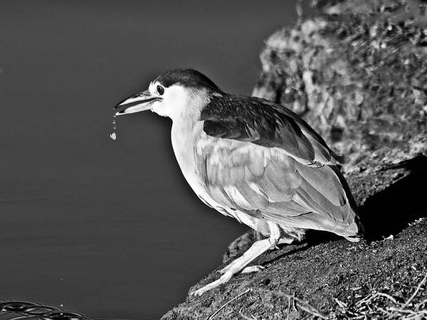 Photograph - Black Crowned Heron by Bob and Nadine Johnston