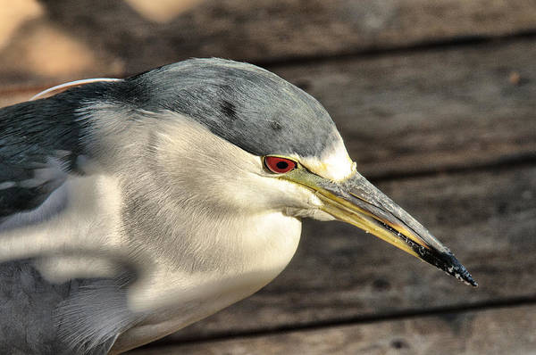 Photograph - Black Crowned Heron by Tam Ryan