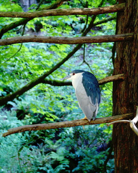 Photograph - Black-crowned Night Heron 2 by Ben Upham III