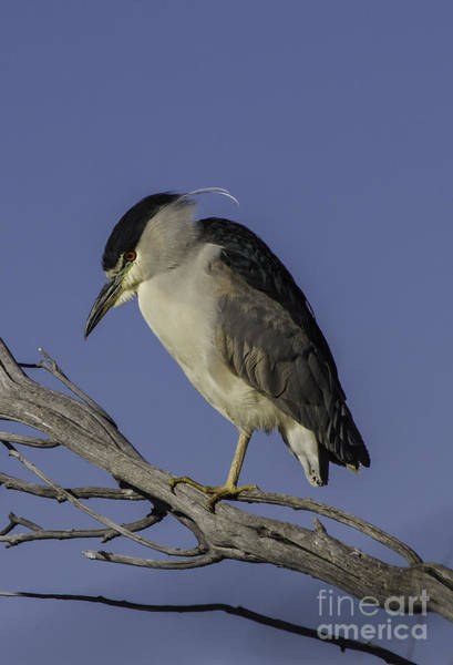 Night-heron Photograph - Black-crowned Night Heron 2 by Mitch Shindelbower