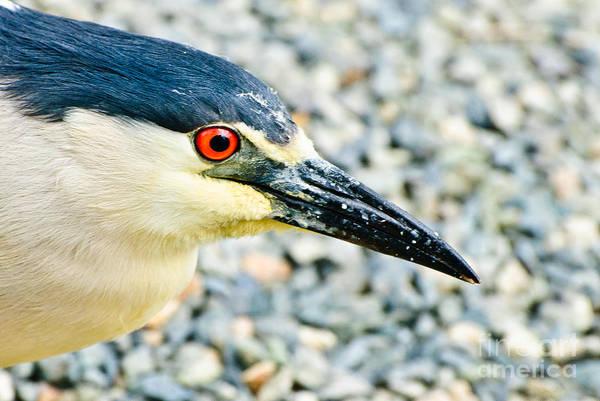 Photograph - Black Crowned Night Heron 2 by Bob and Nadine Johnston