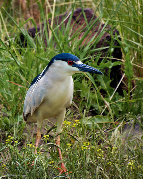 Photograph - Black-crowned Night Heron by Britt Runyon