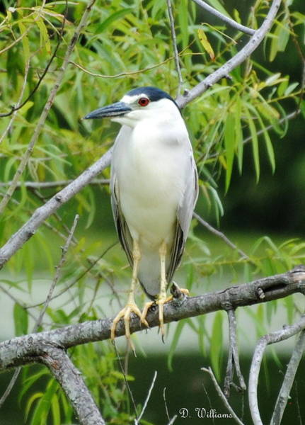 Photograph - Black-crowned Night Heron by Dan Williams