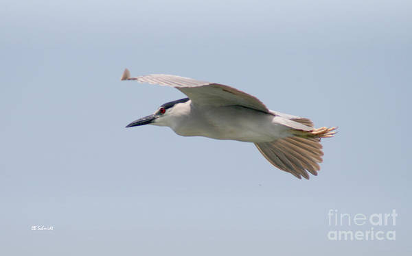 Photograph - Black-crowned Night Heron by E B Schmidt