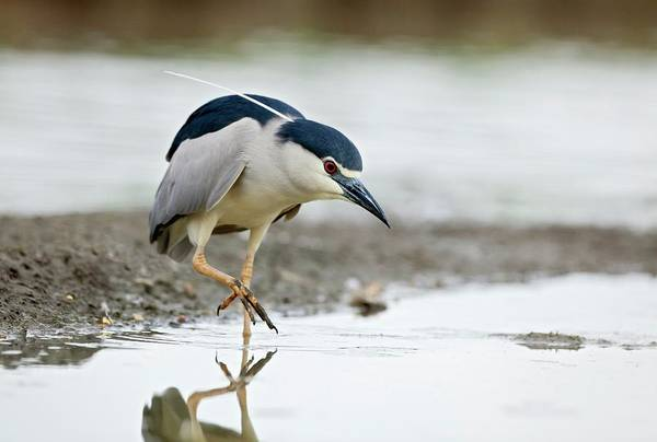 Wall Art - Photograph - Black-crowned Night Heron Hunting by John Devries/science Photo Library