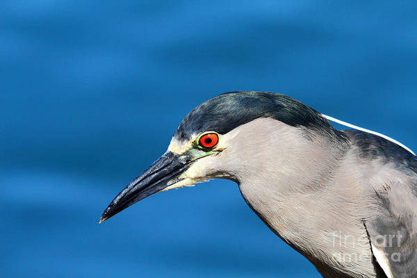 Photograph - Black Crowned Night Heron by James Brunker