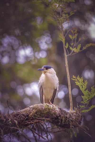 Night-heron Photograph - Black-crowned Night Heron by Ktsdesign/science Photo Library