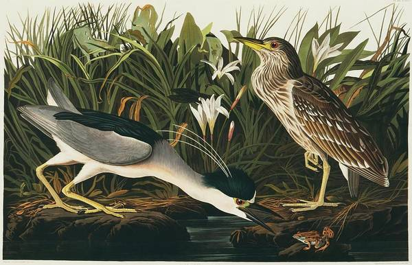 Night-heron Photograph - Black-crowned Night Heron by Natural History Museum, London/science Photo Library