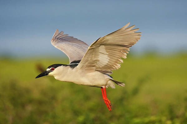 Night-heron Photograph - Black-crowned Night-heron (nycticorax by Larry Ditto