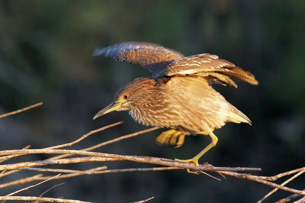 Night-heron Photograph - Black-crowned Night Heron by Photostock-israel/science Photo Library