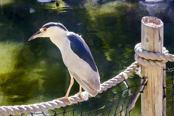 Digital Art - Black Crowned Night Heron by Photographic Art by Russel Ray Photos