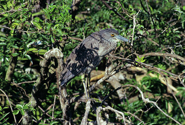Night-heron Photograph - Black-crowned Night Heron by Sally Mccrae Kuyper/science Photo Library