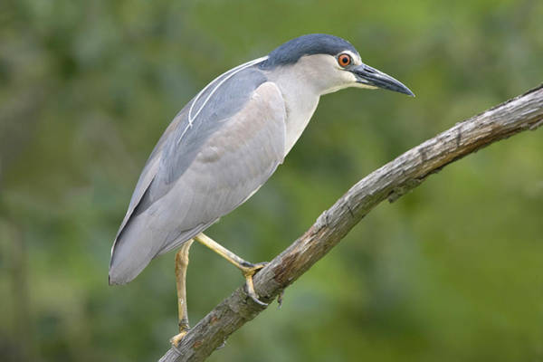 Joke Wall Art - Photograph - Black-crowned Night Heron Vajta Hungary by Joke Stuurman