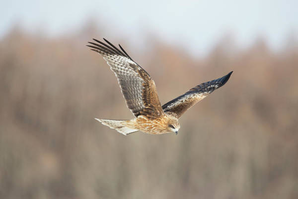 Black Kite Photograph - Black-eared Kite In Flight by Dr P. Marazzi