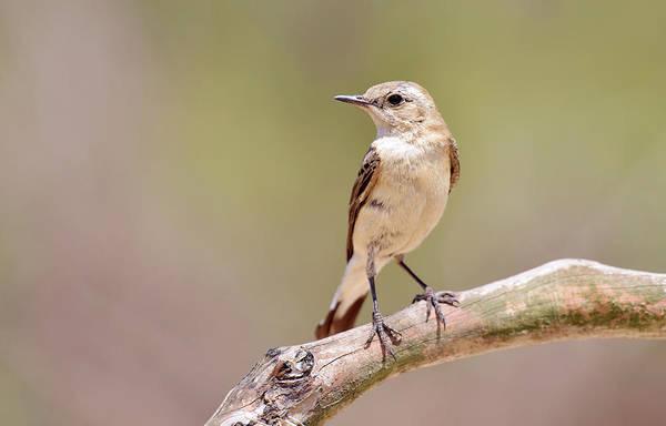 Passeriformes Photograph - Black-eared Wheatear by Dr P. Marazzi