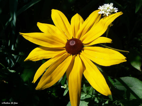 Photograph - Black Eye Susan And Friend by Barbara St Jean